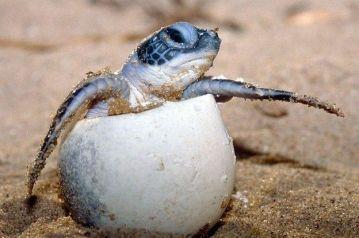 animal-tortue-marine-eclosion